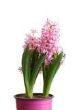 Almácigos rosados de la flor del jacinto del primer aislados en blanco Fotografía de archivo libre de regalías