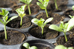 Almácigos vegetales orgánicos Foto de archivo libre de regalías