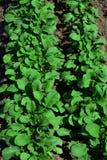 Almácigos verdes claros del rábano Imagen de archivo