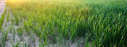 Almácigos verdes jovenes del trigo que crecen en un campo en la puesta del sol Agricultura farming Cultivo del trigo y de las cos fotos de archivo libres de regalías