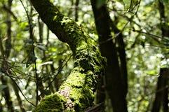 Almíscares verdes nos ramos na madeira Imagem de Stock Royalty Free