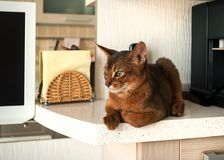 The alm Abyssinian cat lies on the kitchen countertop. stock photography