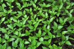 Alm?cigos crecientes de la pimienta dulce en un invernadero foto de archivo libre de regalías