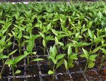 Alm?cigos crecientes de la pimienta dulce en un invernadero imagen de archivo libre de regalías