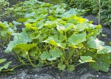 Alm?cigos de la calabaza en el jard?n calabaza verde joven del arbusto en primavera fotografía de archivo