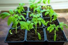 Alm?cigos del tomate en la bandeja para el brote en invernadero Foco selectivo imagen de archivo libre de regalías