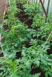 Alm?cigos del tomate Tomates crecientes en el invernadero Crecimiento de verduras en invernaderos imagen de archivo