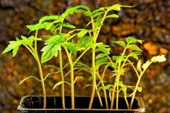 Alm?cigos del tomate, una planta agr?cola popular crecida por los jardineros Alm?cigos - pl?ntulas en suelo protegido y entonces  fotos de archivo