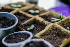 Alm?cigos en conserva que crecen en potes biodegradables del musgo de turba imágenes de archivo libres de regalías