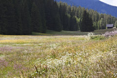 Alm di fioritura alla sella di Kartitsch, Austria Immagine Stock