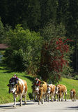 Almabtrieb. Decorated cows on their march from the alpine fields to their farm in the valley Royalty Free Stock Image