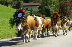 Almabtrieb. Cows walking with decoration in the parade called Almabtrieb in Austria Stock Photography