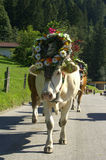 Almabtrieb. A cow decorated with flowers and religious ornaments walks from its alpine fields (alm) to the farm Stock Photos