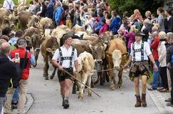 Almabtrieb e Viehscheid in Baviera Immagine Stock Libera da Diritti