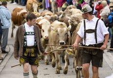 Almabtrieb e Viehscheid in Baviera Immagine Stock