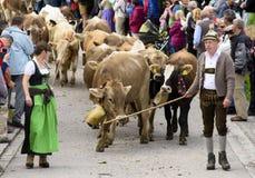 Almabtrieb en Viehscheid in Beieren Stock Foto