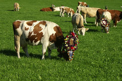 Almabtrieb Rast. Cows resting in the field after the alpine Almabtrieb, where they walked decorated in a parade Stock Photos