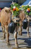 Almabzug - cérémonial entraînant une réduction les bétail par la montagne images stock