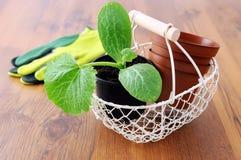 Almácigo de la planta del calabacín en cesta Imagen de archivo libre de regalías