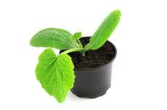 Almácigo de la planta del calabacín en la maceta Imagen de archivo