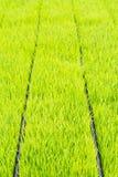 Almácigo del arroz Imágenes de archivo libres de regalías