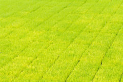 Almácigo del arroz Fotografía de archivo libre de regalías