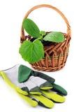 Almácigo del calabacín en guantes de la maceta, de la cesta y del jardín Isolat Imagenes de archivo