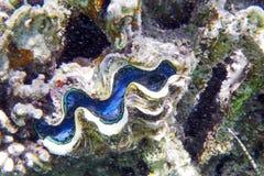 Almeja del Tridacna imagenes de archivo