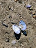 Almeja en la playa fotos de archivo