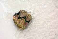 Almeja gigante Foto de archivo libre de regalías