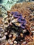 Almeja gigante azul Foto de archivo libre de regalías