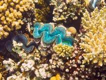 Almeja gigante azul, Mar Rojo, Egipto foto de archivo
