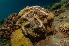 Almeja gigante en el Mar Rojo fotos de archivo libres de regalías