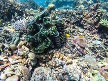 Almeja gigante en la isla de Surin del punto que se zambulle fotos de archivo libres de regalías