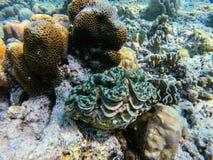Almeja gigante en la isla de Surin del punto que se zambulle imagen de archivo