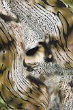 Almeja gigante estriada, macro. Imagen de archivo libre de regalías