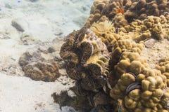 Almeja gigante (gigas del Tridacna) Fotos de archivo libres de regalías