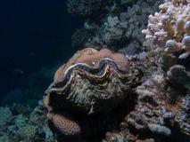 Almeja grande del tridacna en un arrecife de coral imágenes de archivo libres de regalías
