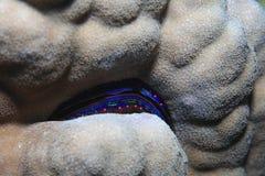 Almeja iridiscente Fotografía de archivo libre de regalías