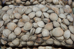 Almejas de Littleneck (antiqua de Ameghinomya) Fotos de archivo libres de regalías