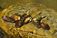 Almejas del río en la roca en un río limpio Anatina del Anodonta foto de archivo libre de regalías