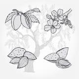 Almendra, árbol y nueces, bosquejo del vector Fotos de archivo libres de regalías