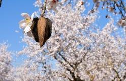 almendra y flor de almendras en el extremo de la rama de un un montón de árbol de almendra de flores blancas en el fondo en un dí foto de archivo