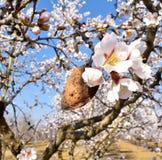 almendra y flor de almendras en el extremo de la rama de un un montón de árbol de almendra de flores blancas en el fondo en un dí imagenes de archivo
