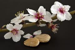 Almendras con su flor Fotos de archivo libres de regalías