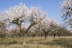 Almendro0211. Almond tree in spring time Stock Images