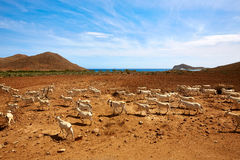 Almeria Cabo de Gata goats in Genoveses beach Royalty Free Stock Photo