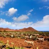 Almeria Cabo de Gata goats in Genoveses beach Royalty Free Stock Image