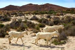 Almeria Goats in Cabo de Gata Fotografie Stock Libere da Diritti