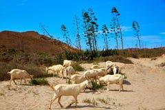 Almeria Goats in Cabo de Gata Royalty Free Stock Photos